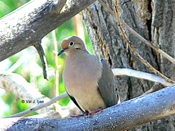 Mourning Dove © Val J. Lee