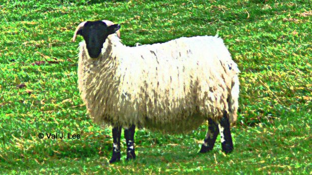 Ireland Sheep © Val J. Lee