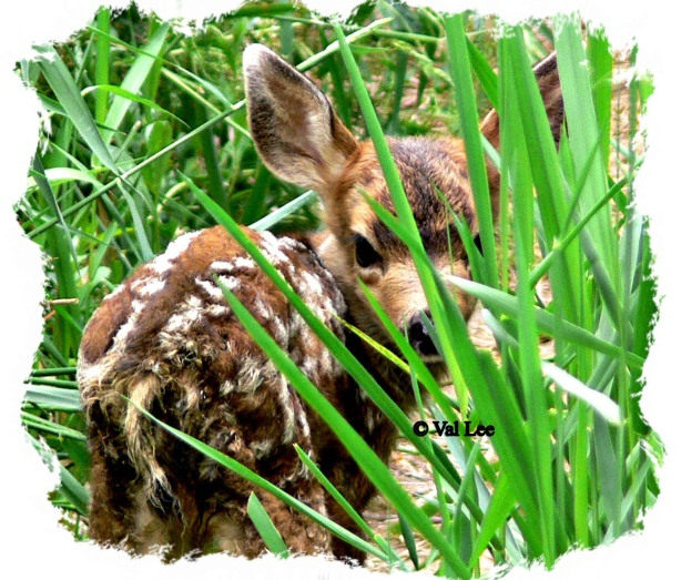 fawn-hgh-in-white-frame-low-copyright_edited-1