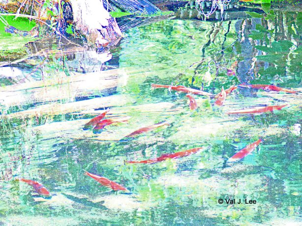 Kokanee Salmon © Val J. Lee