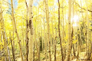God's beauty reminds us He is in control (Aspens of Colorado © Val J. Lee)